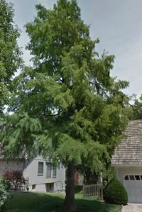 Our towering bald cypress tree