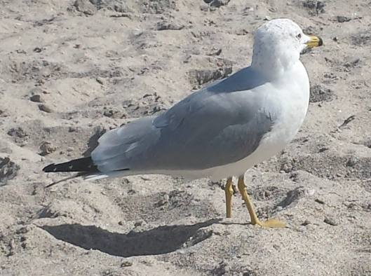 gull cropped