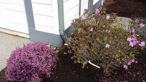 Azalea & heather in Pacific Northwest