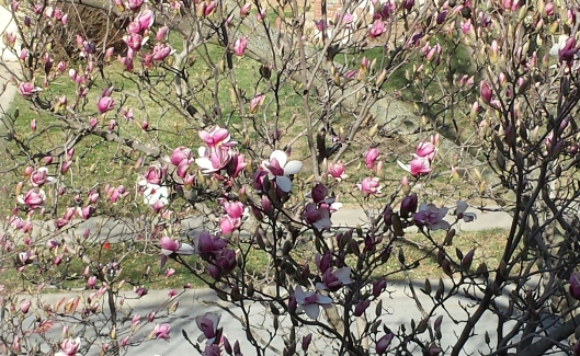 View of my magnolia this week from my office window