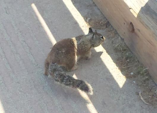 La Jolla ground squirrel 20160404_145337