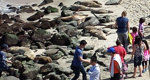 La Jolla sea lions on beach 20160404_150151