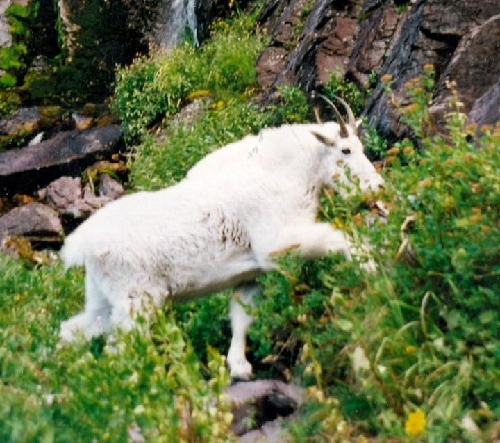 Al's goat cropped